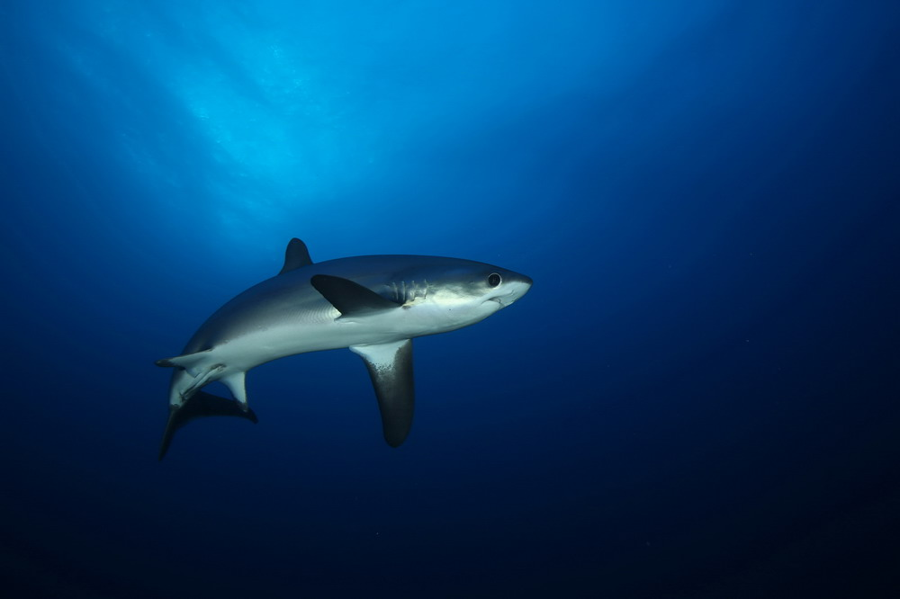 002-Thresher_-Shark-Big-Brother-Is.JPG