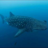 003-Rhincodon-typus,-Галапагосские-острова,-Июнь-2010