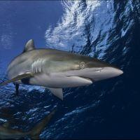 014-Carcharhinus-falciformis,-Хардинес-де-Ла-Рена,-Куба,-Апрель-2011