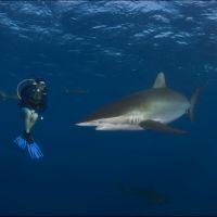 015-Carcharhinus-perezii,-Хардинес-де-Ла-Рена,-Куба,-Июнь-2011