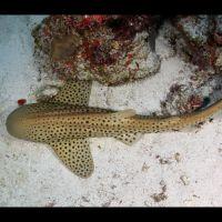 017-Stegostoma-fasciatum,-Мальдивы,-Январь-2016