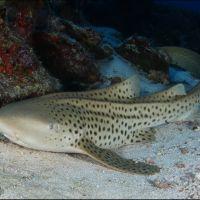 018-Stegostoma-fasciatum,-Мальдивы,-Январь-2016