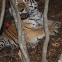 006-Уссурийский-Тигр