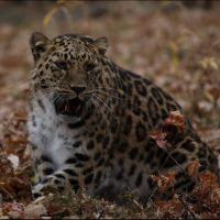 079-Дальневосточный-Леопард-Приморский-Край-Россия-рктябрь-2008