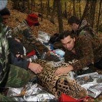 080-Дальневосточный-Леопард-под-медицинским-наркозом-Примоский-Край-октябрь-2007