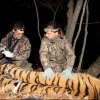081-Уссурийский-Тигр-под-наркозом-Примокский-Край-октябрь-2011