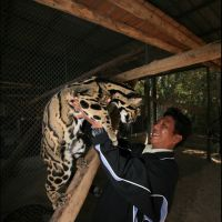 084-проект-по-сохранению-Дымчатого-Леопарда-зоопарк-Бангкока-январь-2008